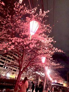 横浜のお花見🌸夜桜🌸