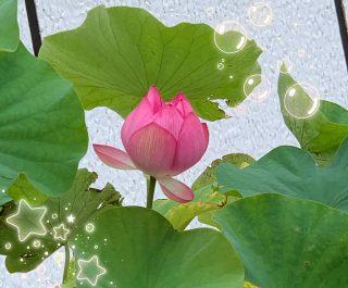 ☆大好きな蓮の花☆