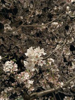 春と言えば🌸🌸🌸(🐶)